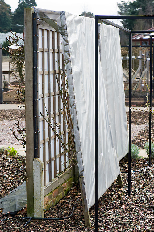 A plastic rain cover over a fan-trained peach tree protects it from rain-borne peach leaf curl disease, mid March. It is open at each end to allow insects to pollinate the flowers.