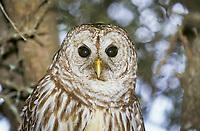 Barred Owl (Strix varia), portrait, in tree, Florida, USA, America, North America