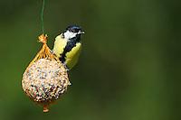 Kohlmeise, an der Vogelfütterung, Kohl-Meise, Meise, Meisen, Parus major, Great tit, La Mésange charbonnière. Ganzjahresfütterung, Vögel füttern im ganzen Jahr, Vogelfutter der Firma GEVO, Ganzjahresknödel