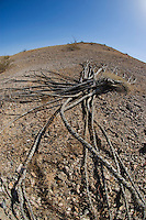Dead ocotillo on ground, Fouquieria splendens, Imperial County, California