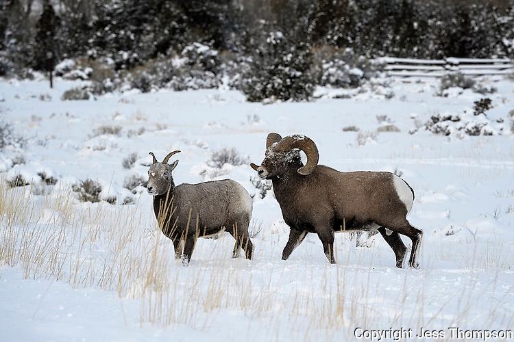 Bighorn Ram and Ewe, Cody, Wyoming