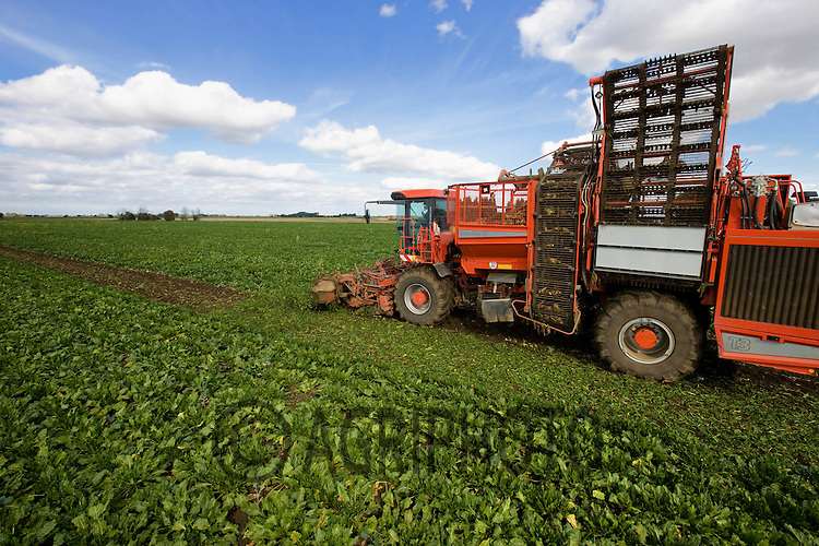 Agricultural Contractor lifting sugar beet in the Lincolnshire fens.Picture Tim Scrivener date taken 21st September  2011 .mobile 07850 303986 e-mail tim@agriphoto.com.....covering Agriculture in The United Kingdom.....