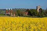 Great Britain, England, Kent, Horsmonden: Typical Kent Oast House and Horsmonden church by Oilseed rape field with Goudhurst on hill behind