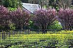 The Cline vineyard in Sonoma County, California.