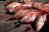 Horizontal image of a fresh catch of assorted snapper (lutjanis species) lined on a dock - Florida.