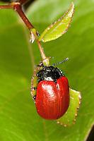 Pappelblatt-Käfer, Roter Pappelblattkäfer, frisst an Pappelblatt, Chrysomela populi, Melasoma populi, Red poplar leaf-beetle, poplar leaf beetle, poplar beetle