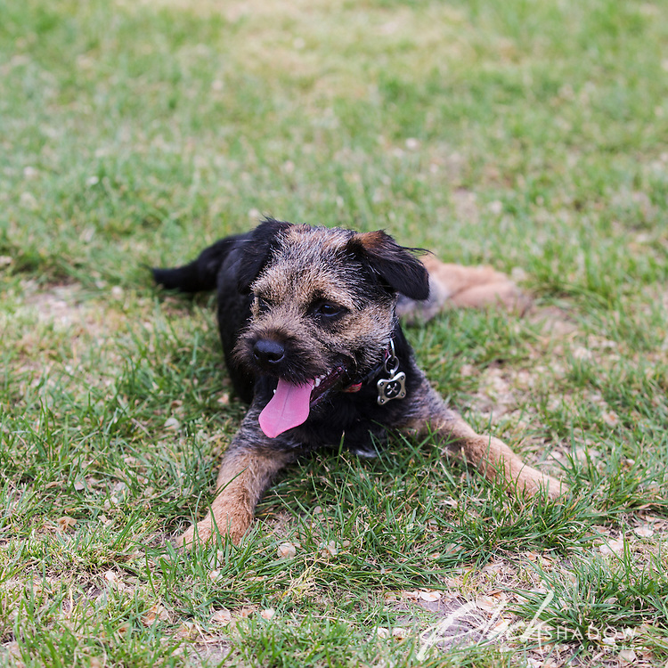 Archer the Border Terrier puppy playing at Princes Park, Melbourne, October 2015