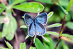 karner blue butterfly female laying eggs on wild lupine, concord, new hampshire