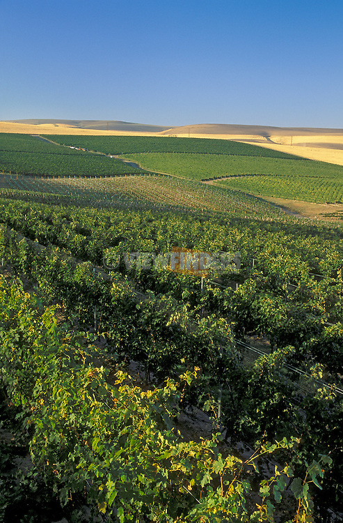 Rows of grape vines at Seven Hills Vineyards, with wheat fields in the distance; Walla Walla Valley, Washington..#2443-1216
