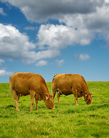 Cows grazing in pasture. Ireland.