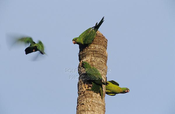 Green Parakeet, Aratinga holochlora,adults on palm tree, Brownsville, Rio Grande Valley, Texas, USA