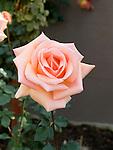 Rosa hybrid tea, Apricot Passion Rose