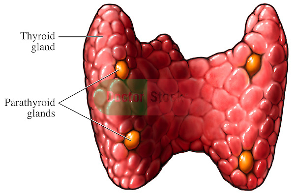 This stock illustration features a single posterior view of the thyroid gland. Labels identify the thyroid gland and the parathyroid glands.