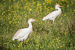Brazoria County, Damon, Texas; a pair of Cattle Egret foraging for food in a pasture filled with yellow wildflowers in early morning sunlight