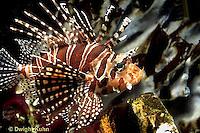 TP03-018z   Dwarfed Lionfish - Zebra Lionfish - Dendrochirus zebra