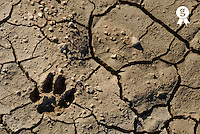 Animal footprint in cracked mud surface, close up (Licence this image exclusively with Getty: http://www.gettyimages.com/detail/74583281 )