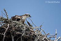 1205-1004  Osprey Sitting On and Caring for its Nest (Sea Hawk), Pandion haliaetus  © David Kuhn/Dwight Kuhn Photography