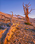 Inyo National Forest, CA <br /> Sunrise on a fallen bristlecone pine next to a twisted standing pine (Pinus longaeva) in the Patriarch Grove