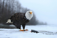 Bald Eagle (Haliaeetus leucocephalus) feeding on salmon along the partially frozen Chilkat River. Alaska. November.