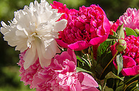 bouquet of peony basking in the sun.