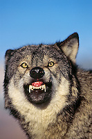 Gray wolf or timber wolf growling (Canis lupus)