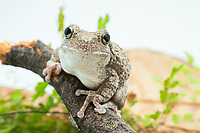 gray tree frog, Hyla versicolor, also known as eastern gray tree frog, common gray tree frog or tetraploid gray tree frog, perched on tree branch, North America, (c)