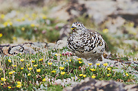 White-tailed Ptarmigan,Lagopus leucurus,adult male in summer plumage eating flowers on alpine tundra, Rocky Mountain National Park, Colorado, USA