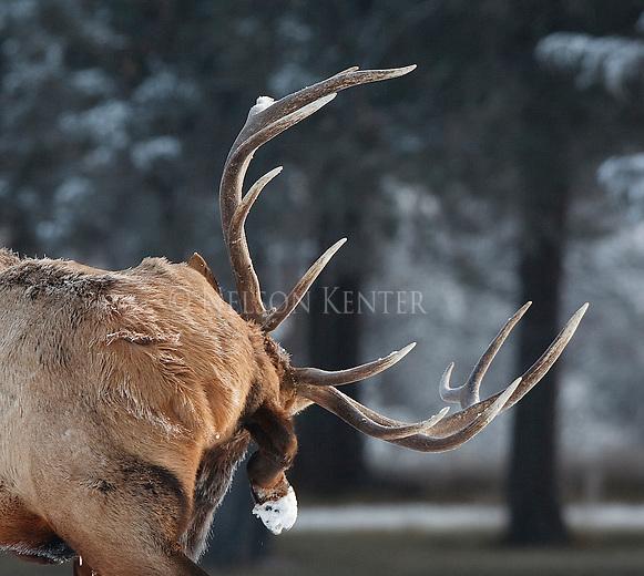 Bull elk licking his side