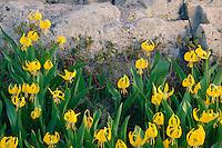 Glacier lily in Democrat Basin<br /> Ruby Range<br /> Gunnison National Forest<br /> Rocky Mountains,  Colorado