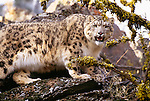 In the high mountains of central Asia, at elevations up to 18,400 feet, lives the snow leopard, a phantom cat that is as beautiful as it is elusive.
