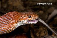 1R22-652z  Corn Snake, Banded Corn Snake, Elaphe guttata guttata or Pantherophis guttata guttata, catching and eating mouse