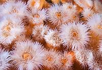 frilled anemones, Metridium senile, San Juan Islands, Washington, USA, Pacific Ocean