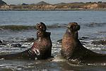 Bull elephant seals fight at Ano Nuevo SR Northern elephant seal bulls