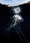Sea nettle (Chrysaora quinquecirrha)