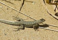 Western fence lizard, Sceloporus occidentalis. Ano Nuevo State Reserve, California