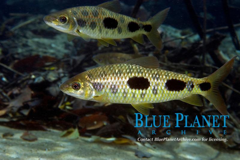 Piaussu, Leporinus macrocephalus, Prata river, Bonito, Mato Grosso do Sul, Brazil