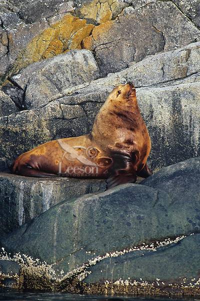 Northern Sea Lion bull rests on coastal rocks.  Northwestern U.S.A.