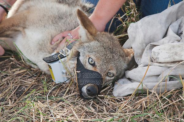 Coyote (Canis latrans), adult being tagged, Welder Wildlife Refuge, Sinton, Corpus Christi, Coastal Bend, Texas, USA