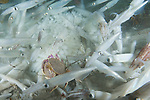 La Jolla Underwater Ecological Reserve, La Jolla, California; a mating pair of Slender Crabs (Cancer gracilis) move across the sea floor amongst thousands of mating Common Market Squid (Loligo opalescens)