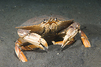 Dungeness crab, Cancer magister, an important commercial and sport fishery, range Alaska to California, USA, Pacific Ocean