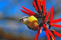 Animais. Aves. Passaro Mariquita ( Parula pitiayumi) na flor de Suina ( Erythrina especiosa). Foto de Silvio Dutra.