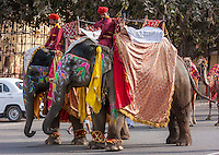 Jaipur, Rajasthan, India.  Mahouts and their Elephants Preparing to Lead a Wedding Procession.