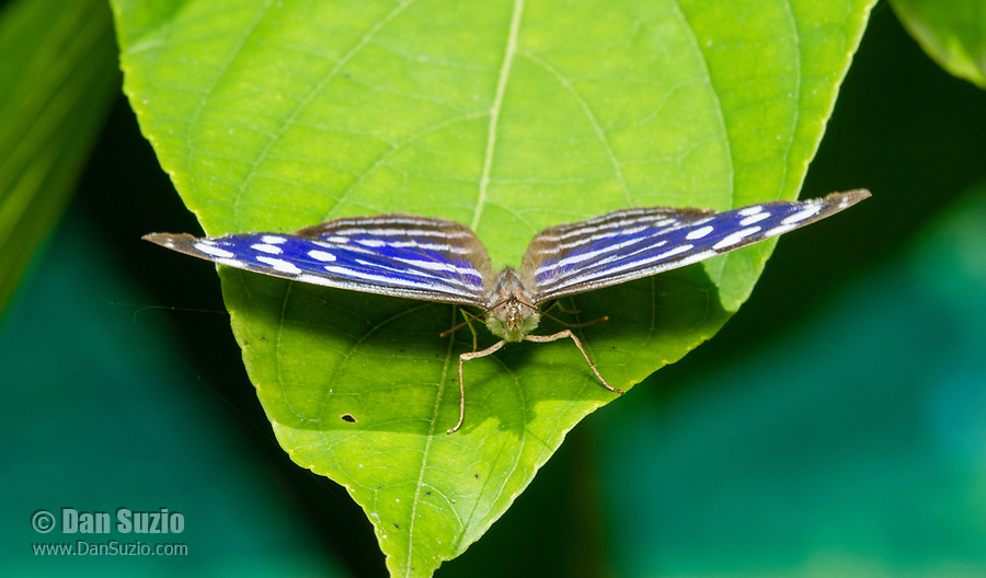 A Blue Wave Butterfly, Myscelia cyaniris, perches on a leaf in the butterfly garden (mariposario) at Restaurante Selva Tropical, Guapiles, Costa Rica
