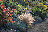 Californa mixed border native plant garden Purple Three-Awn grass, Agave parryi, Fairy Duster shrub at Leaning Pine Arboretum, California garden
