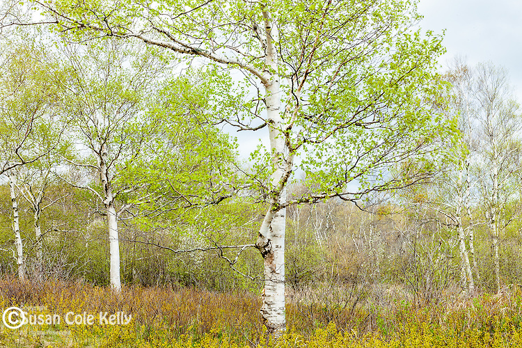 Spring birches in Acadia National Park, Maine, USA