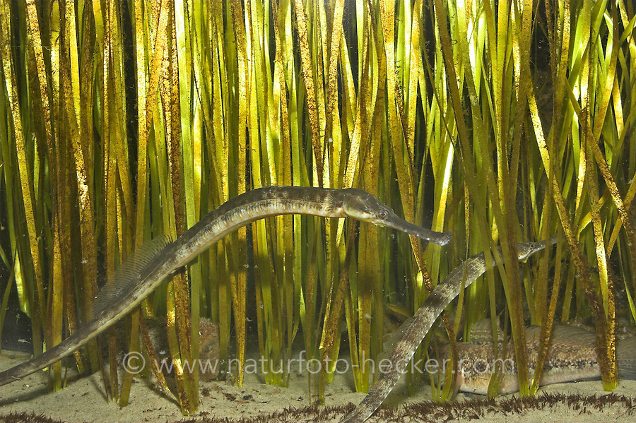Große Seenadel, zwischen Seegras, Syngnathus acus, great pipefish, greater pipefish, Seenadeln, Syngnathidae, pipefishes