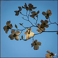 Sunlit Dogwood flowers in the morning.