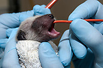 3-4 day old Raccoon is being fed from a syringe through a small hose placed into the stomach of the tiny mammal.  The animal is under the care of the Birdsey Cape Wildlife Center in Barnstable, Cape Cod, Massachusetts.