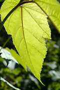 Close-up  of a leaf in  a New Hampshire forest , which is part of the New England  USA