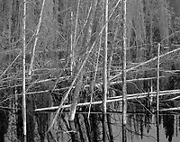 """""""Trees In Blackwater"""" <br /> Along the Dalton Highway, Alaska <br /> <br /> The Dalton Highway is a difficult 414 mile road in Alaska which connects Fairbanks and Prudhoe Bay at the Arctic Ocean. Standing water is a common sight along the Dalton and this black and white photo shows trees next to the highway which are standing in dark water."""